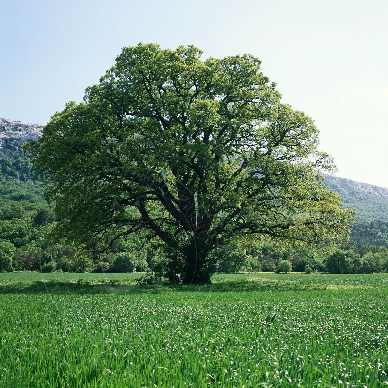 Ref st baume 50x50 008 chene vert st baume jpg le - Maladie du chene vert arbre ...